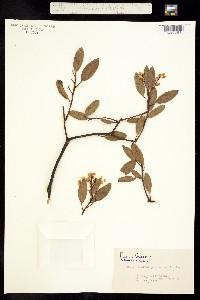 Image of Arctostaphylos stanfordiana