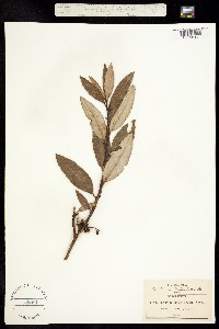Arctostaphylos arguta image