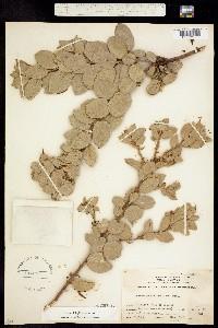 Image of Arctostaphylos drupacea