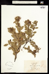 Image of Arctostaphylos densiflora