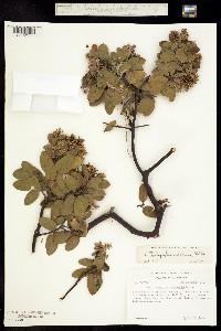 Image of Arctostaphylos catalinae