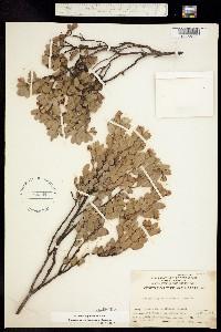 Image of Arctostaphylos nissenana