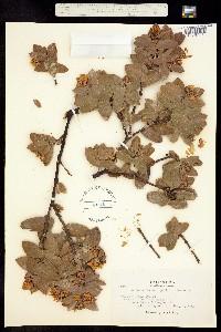Image of Arctostaphylos pallida