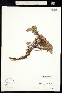 Image of Arctostaphylos alpina