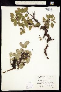 Arctostaphylos alpina image