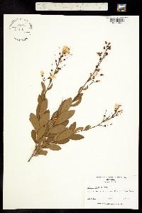 Image of Bejaria racemosa