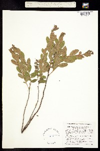 Image of Chamaedaphne calyculata