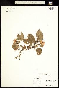 Image of Epigaea repens