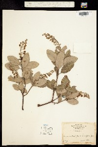 Image of Comarostaphylis diversifolia