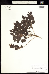 Image of Gaultheria ovatifolia