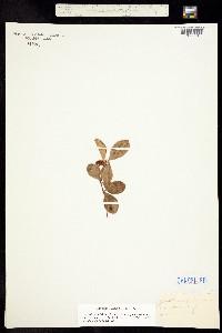 Image of Gaultheria procumbens