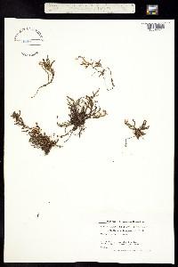 Image of Harrimanella hypnoides