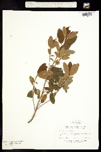 Image of Kalmia angustifolia