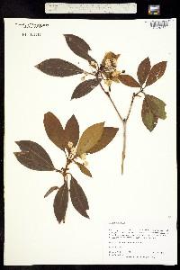Image of Kalmia latifolia