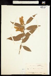Image of Leucothoe axillaris
