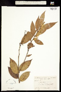 Image of Leucothoe fontanesiana