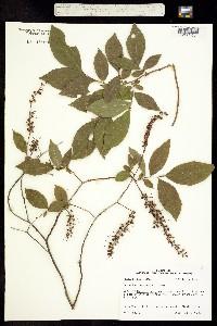 Image of Eubotrys racemosa
