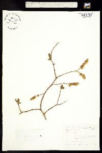 Image of Eubotrys recurva