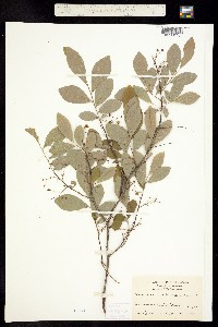 Image of Gaylussacia frondosa