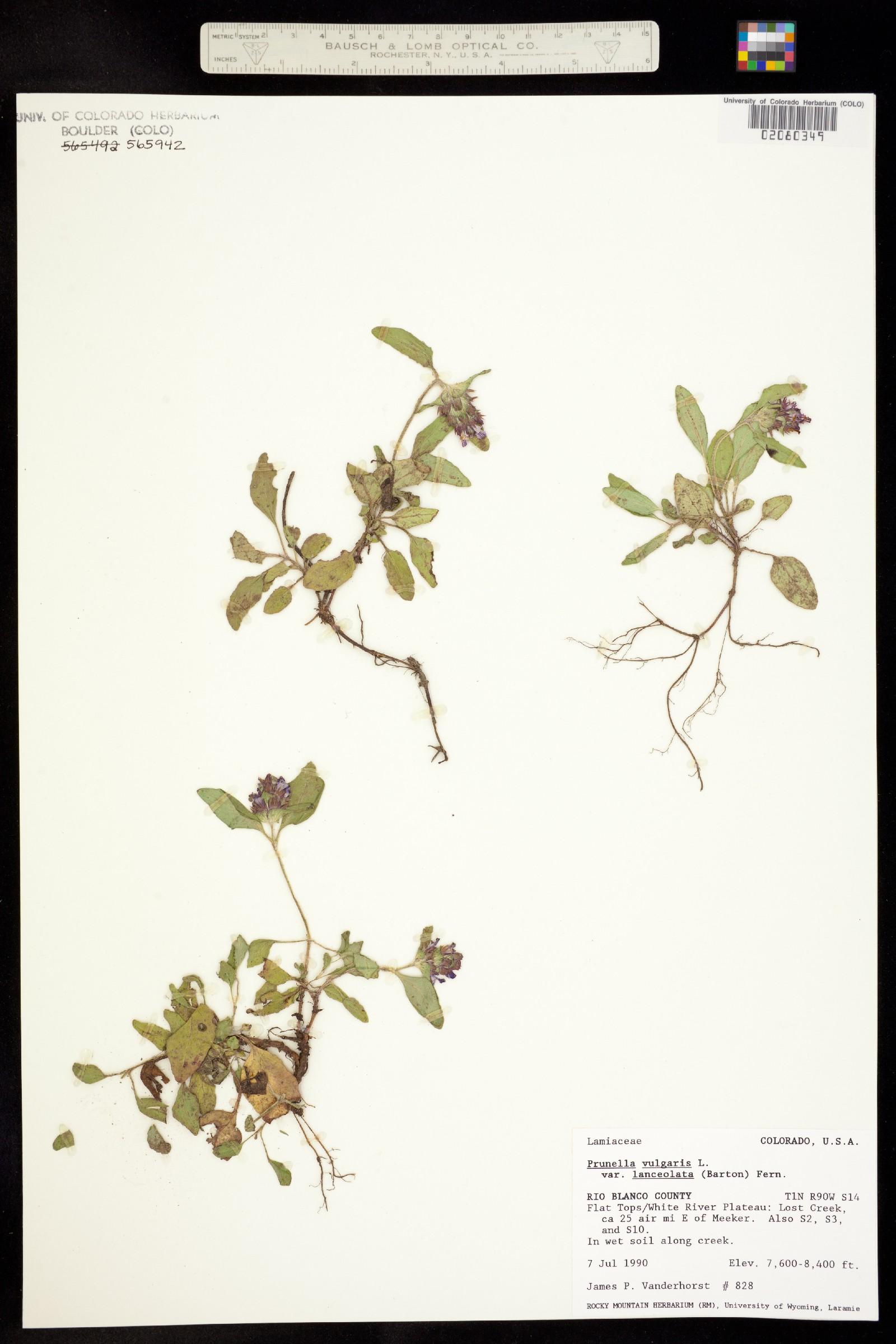 Prunella vulgaris ssp. lanceolata image