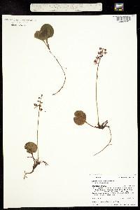 Pyrola asarifolia ssp. asarifolia image