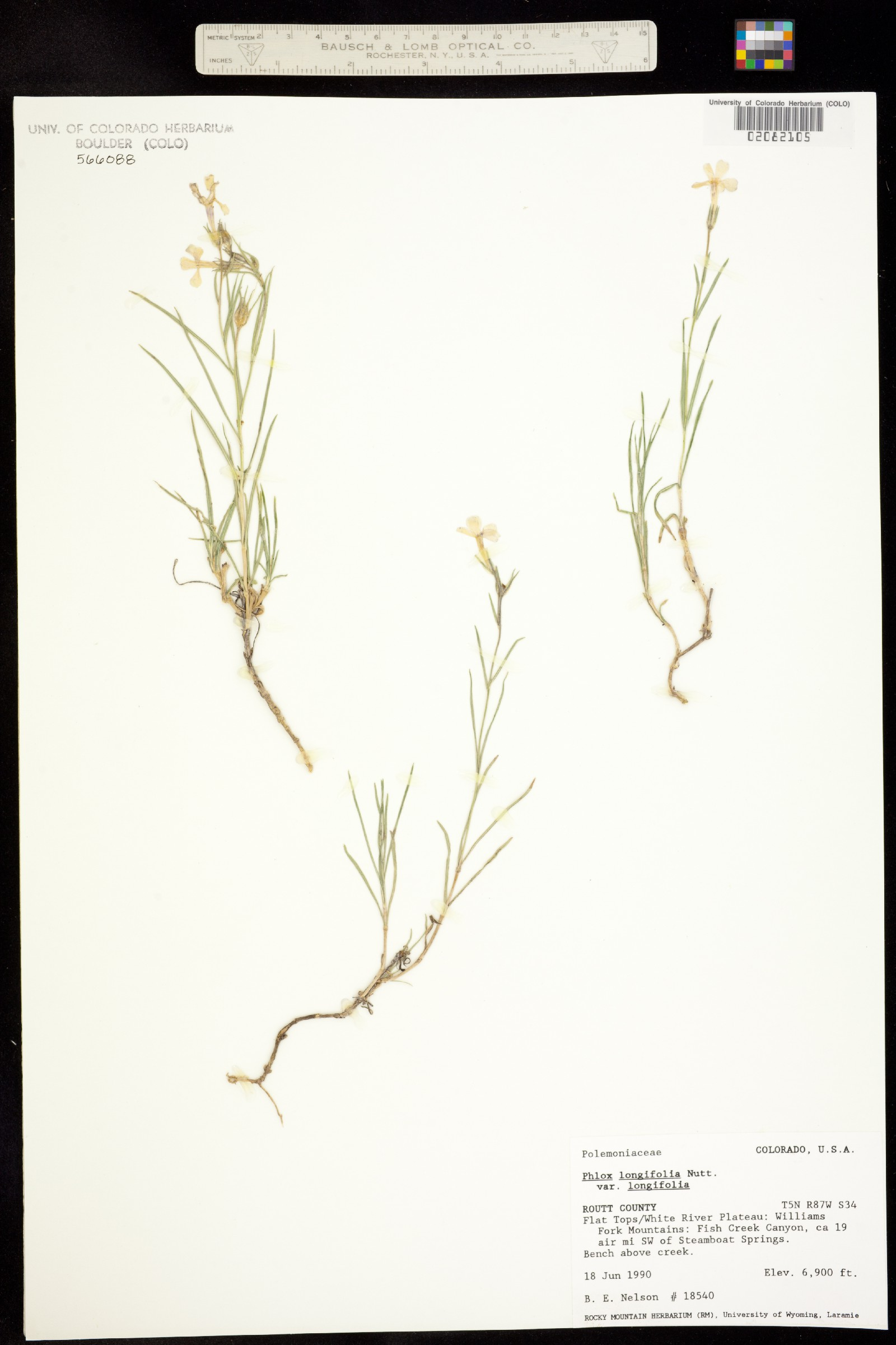 Phlox longifolia ssp. longifolia image