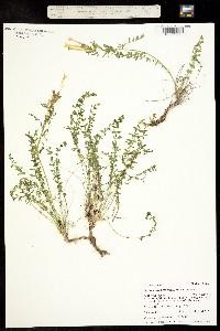 Image of Polemonium brandegeei