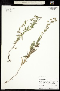 Galium septentrionale image