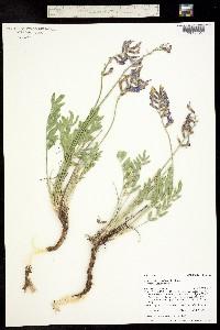 Oxytropis lambertii var. lambertii image