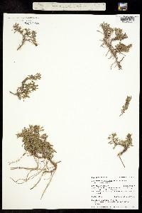 Penstemon caespitosus var. caespitosus image