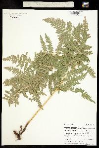Pteridium aquilinum ssp. latiusculum image