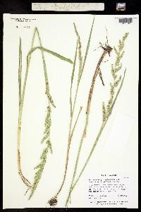 Image of Beckmannia syzigachne
