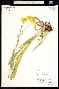 Image of Hymenoxys hoopesii