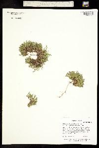 Tryphane rubella image