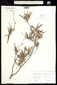 Image of Arctostaphylos appositifolius