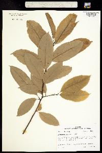 Image of Oxydendrum arboreum