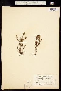 Image of Phyllodoce caerulea