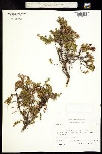 Phyllodoce caerulea image