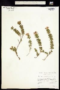 Phyllodoce empetriformis image