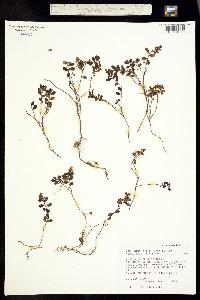 Image of Vaccinium vitis-idaea