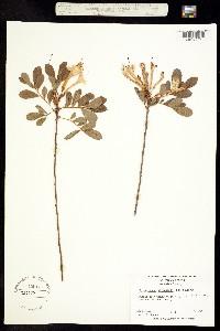 Image of Rhododendron atlanticum