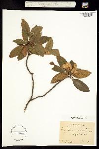 Image of Rhododendron carolinianum