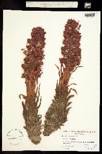 Image of Sarcodes sanguinea