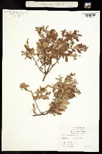 Image of Vaccinium arboreum
