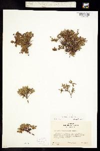 Vaccinium cespitosum image