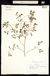Image of Vaccinium elliottii