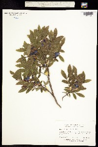 Image of Vaccinium myrtilloides
