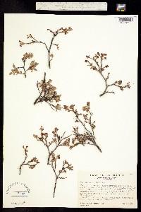 Image of Vaccinium occidentale