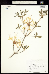 Image of Rhododendron alabamense