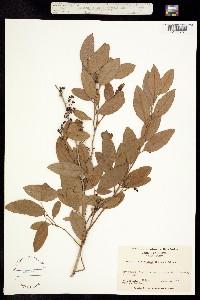 Image of Zenobia pulverulenta